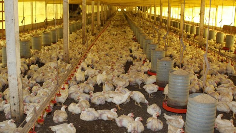 Agentes da Defesa Agropecuária interditam avícola em Bariri
